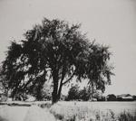 Mugo Pine; Genesee Camera Club; undated; 1978:0115:0001