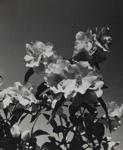 Untitled [Flowers]; Keiper, Elisabeth; ca. 1940s; 1978:0117:0005