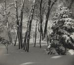 Untitled [Snowy trees]; Keiper, Elisabeth; ca. 1940s; 1978:0117:0008