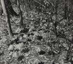 Untitled [Leaves]; Keiper, Elisabeth; ca. 1940s; 1978:0117:0015