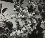 Untitled [Blossoms]; Keiper, Elisabeth; ca. 1940s; 1978:0117:0007