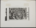 Untitled [Succulent plant]. ; Enos, Franklin; 1971; 1972:0029:0003