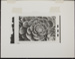 Untitled [Succulent plant]. ; Enos, Franklin; 1971; 1972:0029:0003