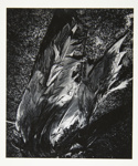 [Untitled, image of bird feathers]; Wells, Alice; ca. 1965; 1972:0287:0104