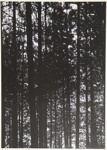 [Untitled, Forest trees]; Wells, Alice; ca. 1962; 1972:0287:0130