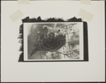 Untitled [Savannah sparrow]; Enos, Franklin; ca. 1971; 1972:0029:0005