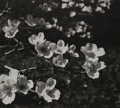Flowering Dogwood; Genesee Camera Club; undated; 1978:0115:0014