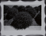 Untitled [Bushes]; Sample, Tricia; 1975; 1986:0008:0009