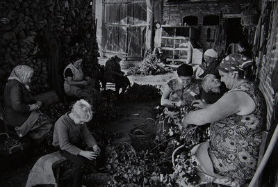 Untitled [Picking fruit]; Saur, Francoise; ca. 1970s; 1986:0017:0004