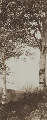 Untitled [Birch trees]; Lamson Studio; undated; 1987:0091:0001