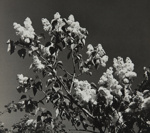 Untitled [Flowers]; Keiper, Elisabeth; ca. 1940s; 1978:0117:0013