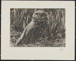 Untitled [Burrowing owl]; Enos, Franklin; ca. early 1970s; 1976:0001:0004