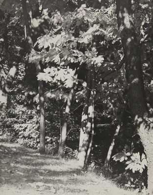 Sassafras; Genesee Camera Club; undated; 1978:0115:0006