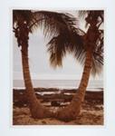 Coconut Palm Horizon; Pfahl, John; 1978; 1981:0015:0003