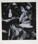 [Untitled, image of leaves with dew drops]; Wells, Alice; 1962; 1972:0287:0217