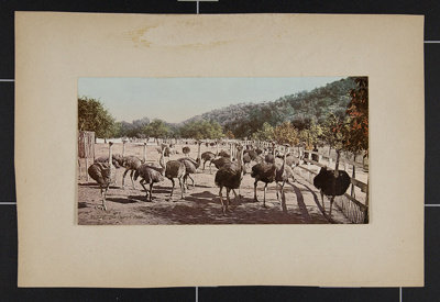 The Ostrich Farm; Detroit Photographic Co.; ca. 1897-1905; 1981:0065:0004