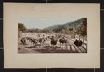 The Ostrich Farm; Detroit Photographic Co.; ca. 1897-1905; 1981:0065:0004