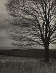 Sugar Maple; Genesee Camera Club; undated; 1978:0115:0004