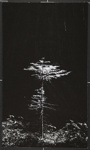 [Untitled, image of a lone tree]; Wells, Alice; ca. 1965; 1972:0287:0271