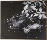 [Untitled, Abstraction of natural forms]; Wells, Alice; ca. 1962; 1972:0287:0131