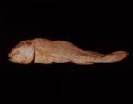 VI. MIDSHIPMAN (Porichthys notatus); Frampton, Hollis; 1982; 1986:0018:0008