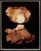 VII. OYSTER SHELL (Pleurotus ostreatus); Frampton, Hollis; 1982; 1986:0018:0009