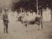 Photograph [Quertier's Guernsey Park prize-winning Alderney cow, Mataura]; Gerstenkorn, Karl Andreas (Invercargill); 1891; MT2011.185.385