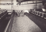 Photograph, 11 of 19, Mataura Dairy Factory Album [Cheese Making,Turning Curds]; unknown photographer; 1927; MT2012.139.11