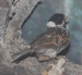 Reed Bunting Male ; VC 17 (Temporary)