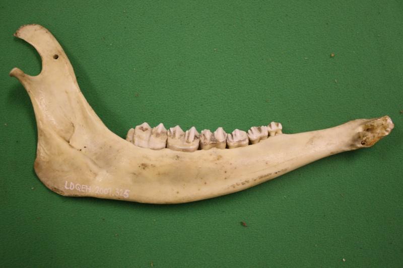 Jaw Bone Fallow Deer Ldqeh2007325 On Ehive