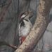 Great Spotted Woodpecker ; VC 26 (Temporary)