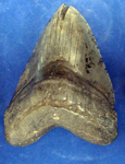 Shark (Megalodon) tooth; Fossil; G/1179
