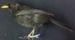 Blackbird (male); 1/NZ/700