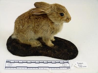 Rabbit; Pirton, Herts, TL13/k; 1/NZ/1258