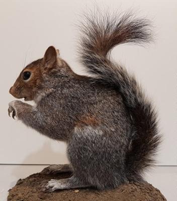 Grey squirrel; 1/NZ/1259