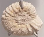Ammonite; Fossil; G/976