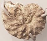 Ammonite; Fossil; G/975
