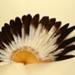 Feather Fan; c. 1895; LDFAN2003.45.Y