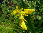 Hollocombe's wild flowers : Yellow Flag or Iris known locally as Daggers; 2006-2007; 5-849