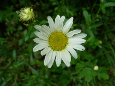 Hollocombe's wild flowers : Ox-eye Daisy; 2006-2007; 5-858