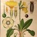 Primrose, Primula vulgaris; Jung-Koch-Quentell; 1975; WC-HB3/1-2013