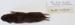 Microtus pinetorum Woodland vole / Pine vole; Rodentia; MA18.7.2/10-2011