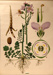 Cardamine, Cardamine ; Jung-Koch-Quentell; 1975; WC-HB4/1-2013