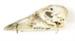 Cygnus olor   Mute swan ; Anseriformes / Cygnus olor; AV3.2.1/1-2011