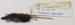Peromyscus  maniculatus Deer mouse; Rodentia; MA18.1.1/2-2011