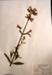 Saponaria officinalis Bouncing Bet; Caryophyllaceae; Botanical; HE49.14.1/1