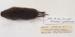Microtus pinetorum Woodland vole / Pine vole; Rodentia; MA18.7.2/11-2011