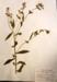 Ergeron annuus  Annual Fleabane; Botanical; HE36.38.1/2