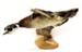 Aix sponsa   Wood duck; Anseriformes; AV3.3.1/1-2011