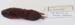 Microtus pinetorum Woodland vole / Pine vole; Rodentia; MA18.7.2/7-2011